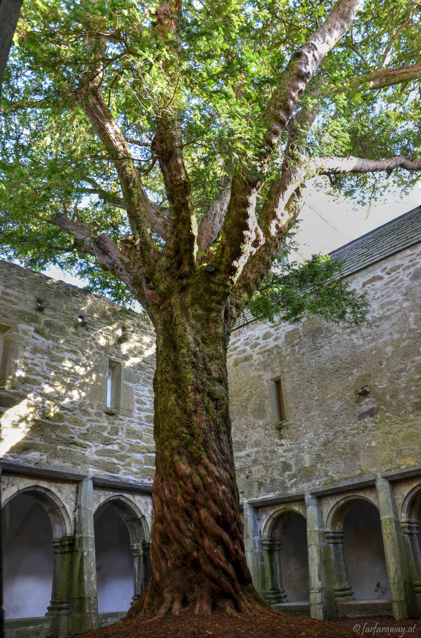 Die mächtige Eibe in Muckross Abbey
