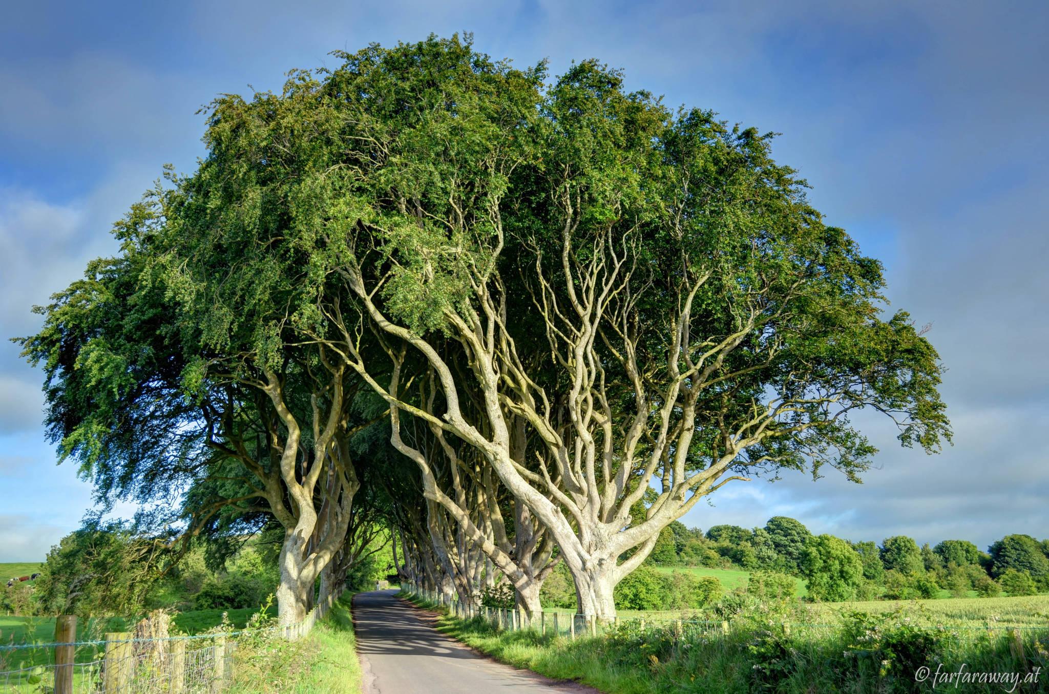 Die Bäume sind riesig- The Dark Hedges